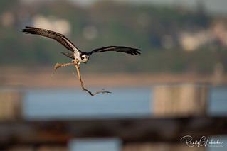 Osprey of the Jersey Shore | 2020 - 12