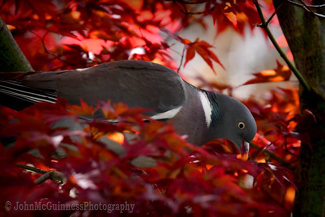 Hiding In My Japanese Maple