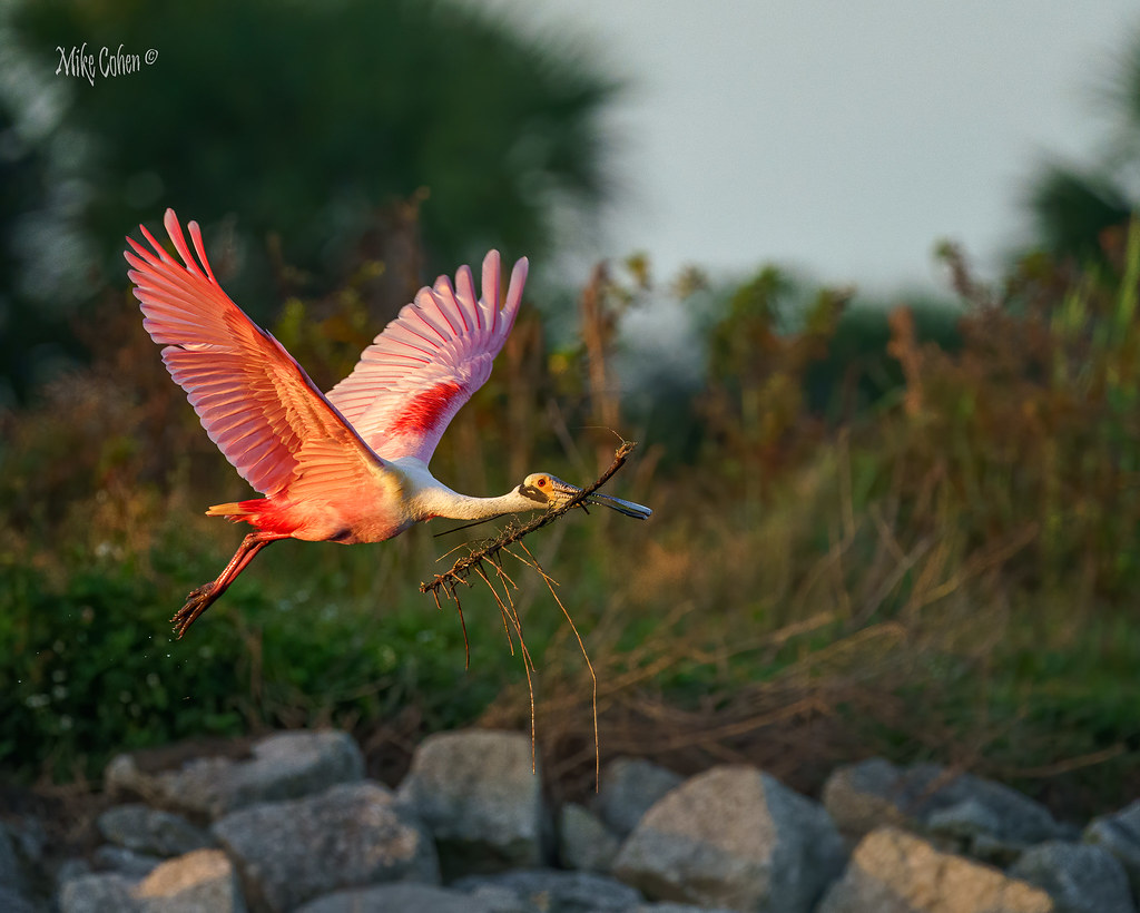 Roseate Spoonbill over the Rocks with a Branch