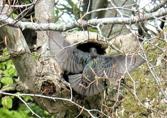 The starling flies back to its nest