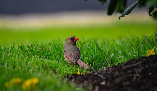 Northern Cardinal Bird - Ashburn VA