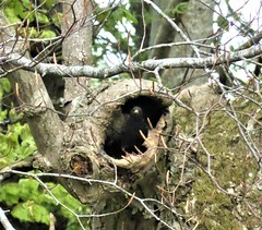 Starling guarding its tree nest