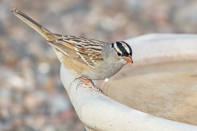 White-crowned-Sparrow-7-7D2-051620