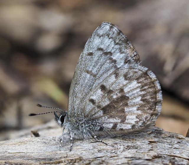 Spring Azure - Celastrina ladon (Lycaenidae, Polyommatinae, Polyommatini) 120z-5078614