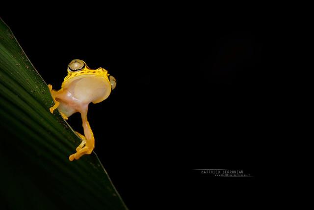 Imbabura Tree Frog Boana picturata