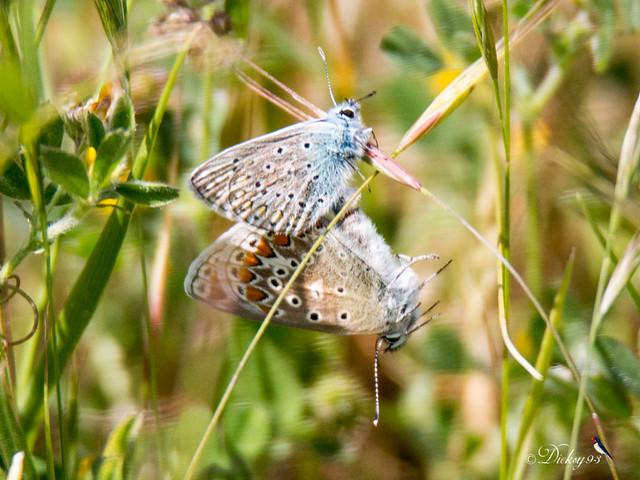 Couple d'azurés de la Bugrane (Polyommatus icarus)