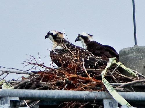 Osprey female and chick 04-20200516
