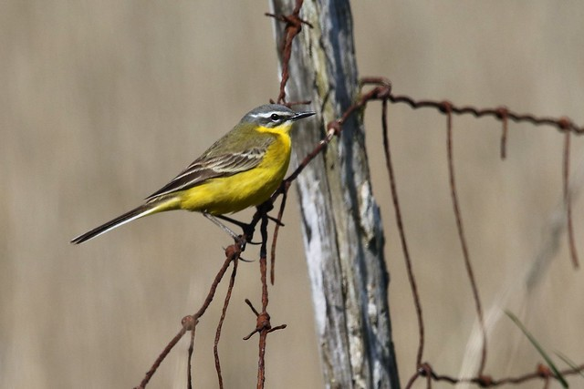 Blue-headed Wagtail. Motacilla flava flava