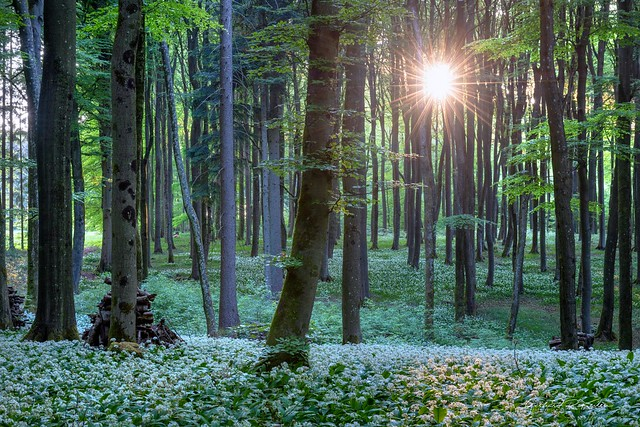 Early morning in the wild garlic forest!