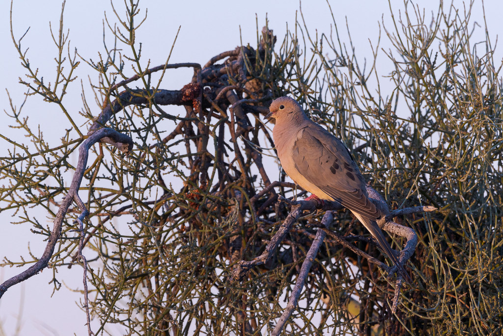 A mourning dove perched in a tree in the first light of morning on the Chuckwagon Trail in McDowell Sonoran Preserve in Scottsdale, Arizona in May 2020.