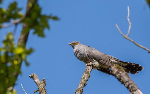 Cuckoo -Cuculus canorus - Koekoek