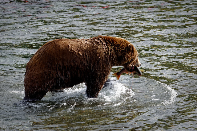 Looks Like a Certain Bear Is Going to Have Some Fish! (Katmai National Park & Preserve)