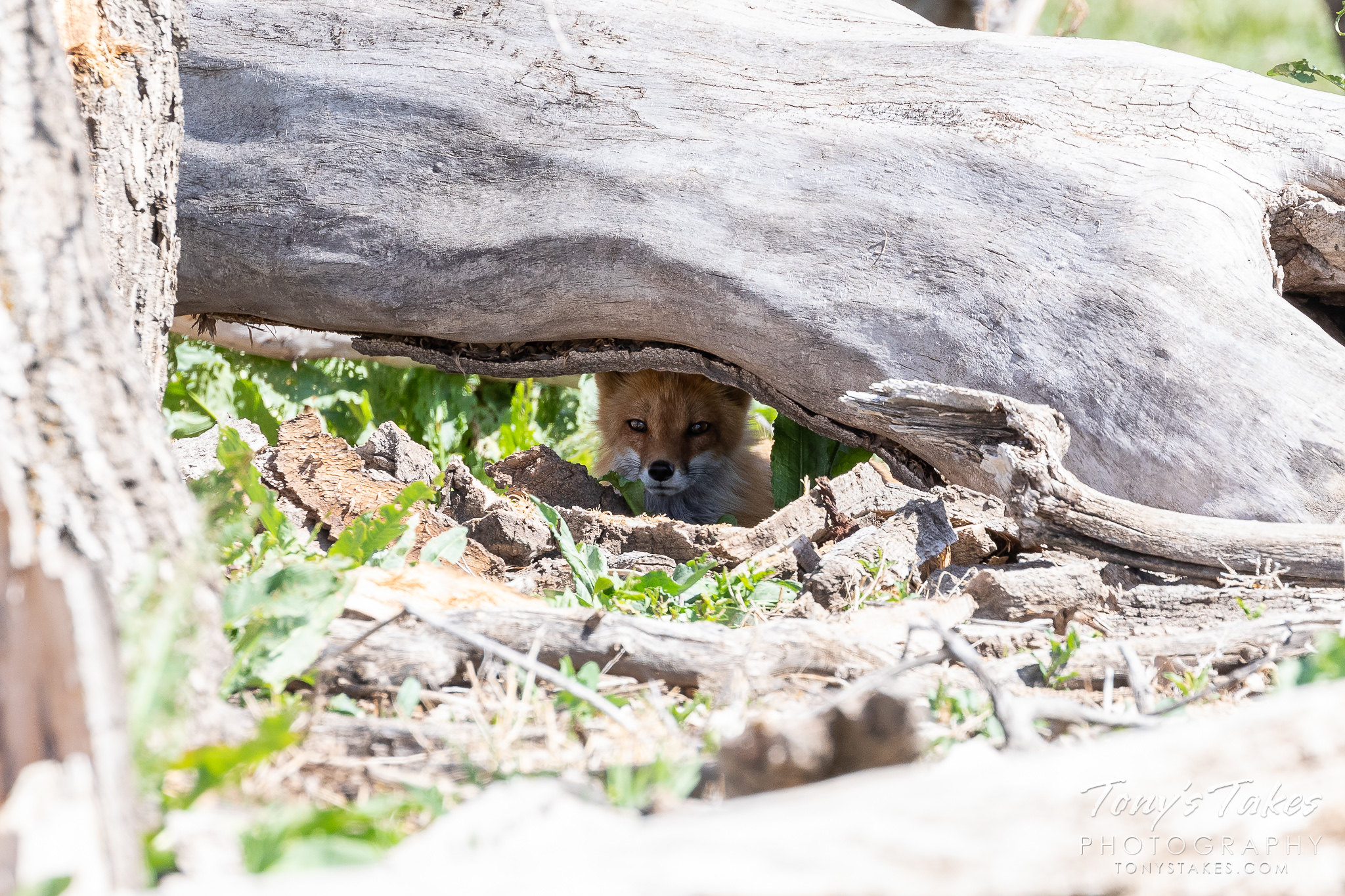 A red fox peers out from its hiding place in Thornton, Colorado. (© Tony's Takes)