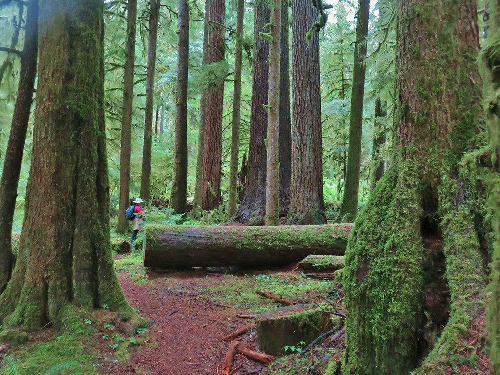 Old growth at Valley of the Giants