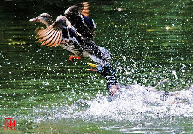 Conflit de canards sur l'Étang de Lonchamp (1/3)