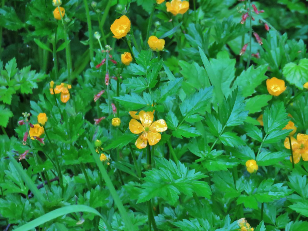 Cinquefoil and youth-on-age