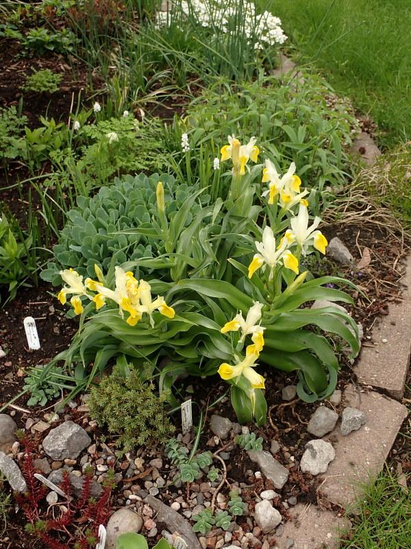 Iris bucharica 49903054697_098241e348_c