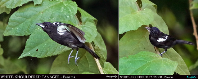 World Species #1396 : White-shouldered Tanager - [ Summit Golf Resort, Panama ]