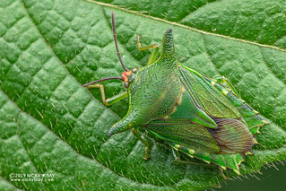 Giant shield bug (Pygoplatys sp.) - DSC_6667