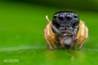 Jumping spider (Pystira ephippigera) - DSC_6656