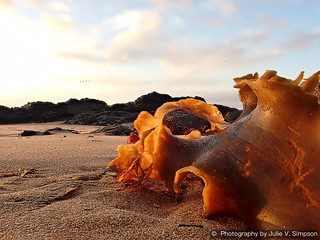 Golden leathery seaweed curled on sand more | by Julie Vause Photographer