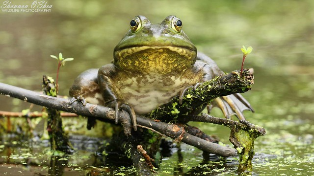 I find you to be quite ribbiting