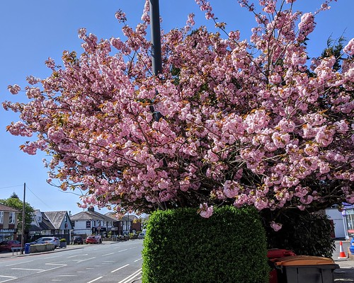 Pink tree Spring blossom in Penwortham, Preston | by Tony Worrall