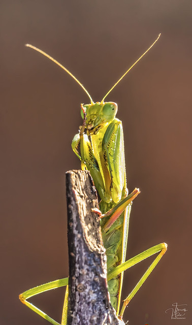 Garden Mantid - Praying Mantid (Orthodera ministralis?)