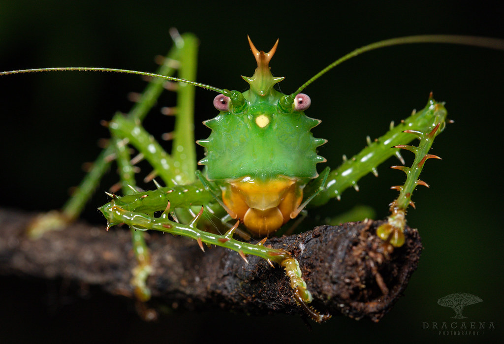 Spiny Devil Katydid