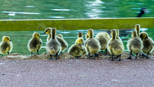 Gosling, big gathering