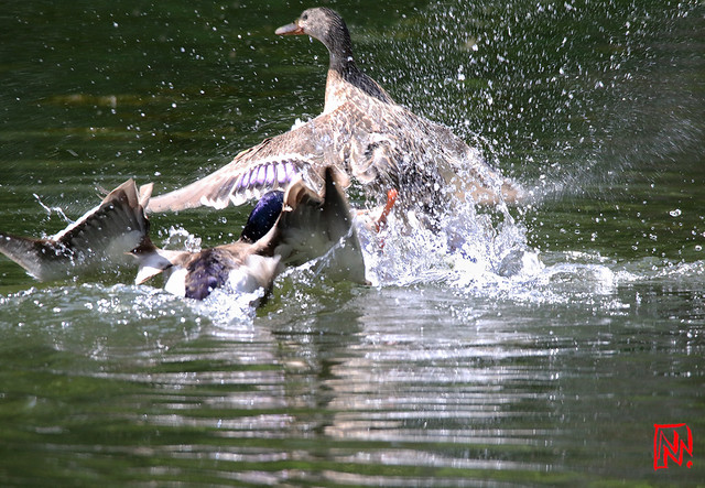 Conflit de canards sur l'Étang de Lonchamp (2/3)