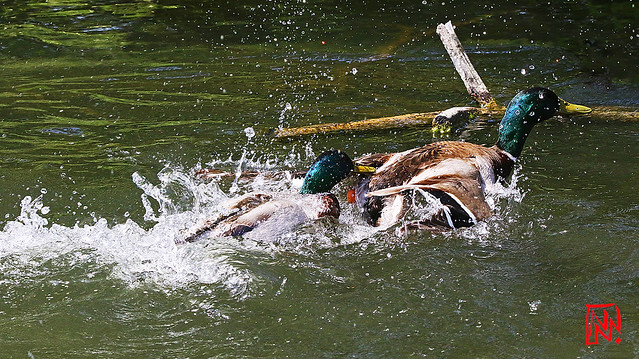 Conflit de canards sur l'Étang de Lonchamp (3/3)