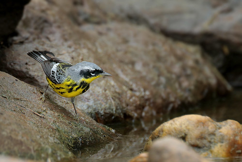 Magnolia Warbler | by Greg Lavaty Photography