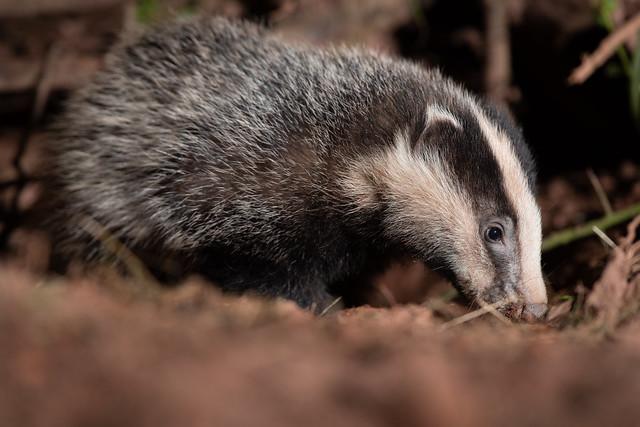 Badger cub