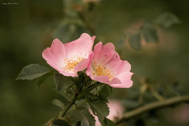 May beauty I ; Wild Rose