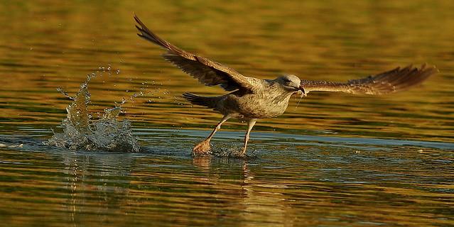 Immature Herring Gull Takes Off, Burgess Park, London IMGP3306