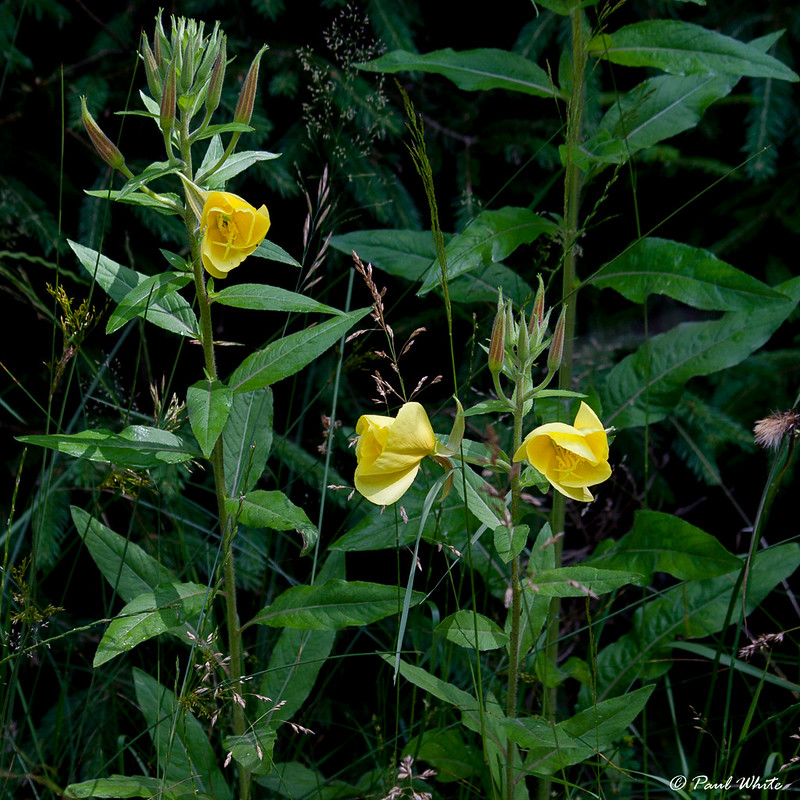 Common evening-primrose (Oenothera biennis)