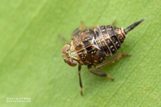 Planthopper nymph (Issidae) - DSC_6664