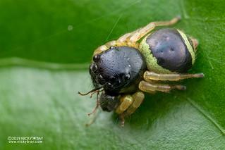 Jumping spider (Pystira ephippigera) - DSC_6647