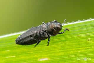 Black jewel beetle (Aphanisticus cochinchinae) - DSC_6544