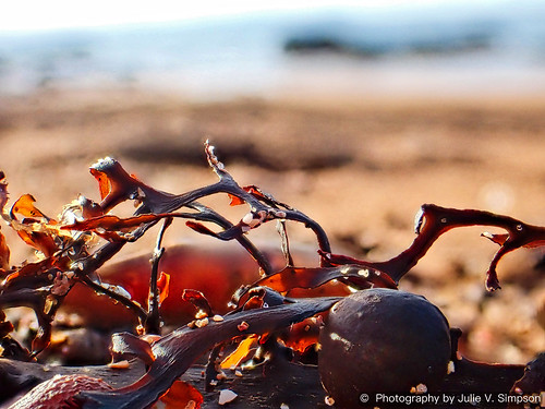 Black goldy pops seaweed | by Julie Vause Photographer