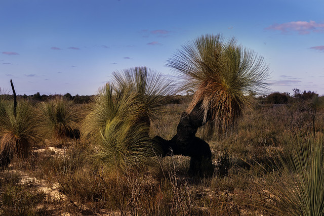 xanthorrhoea tree Little Desert Vic