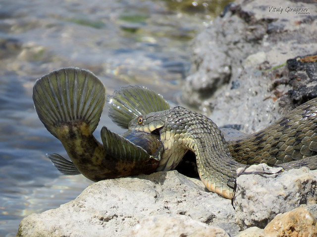 Dice Snake with prey, a Goby.