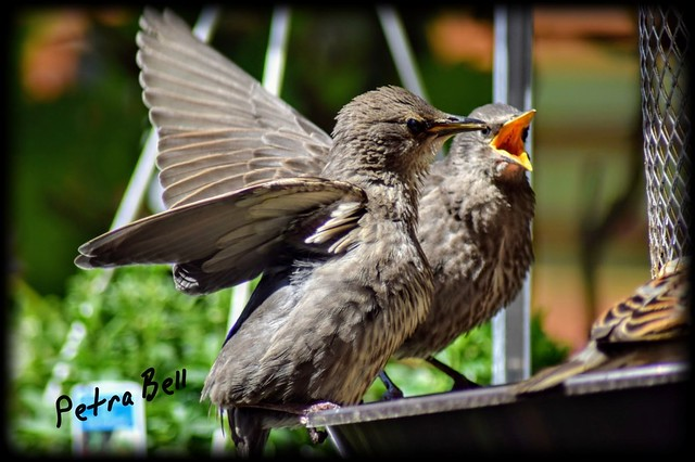 Very hungry offspring of starlings 💖