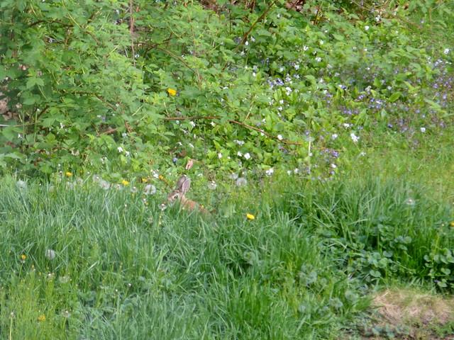 Bunny Hiding in Tall Grass