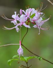 Pinkster flower
