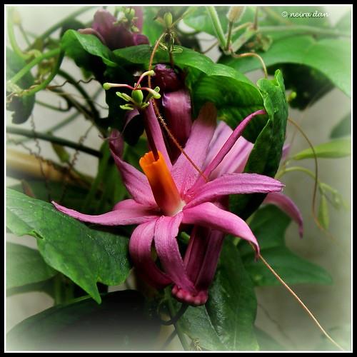 Passiflora tulae - Page 2 49904990617_1b81e29df1