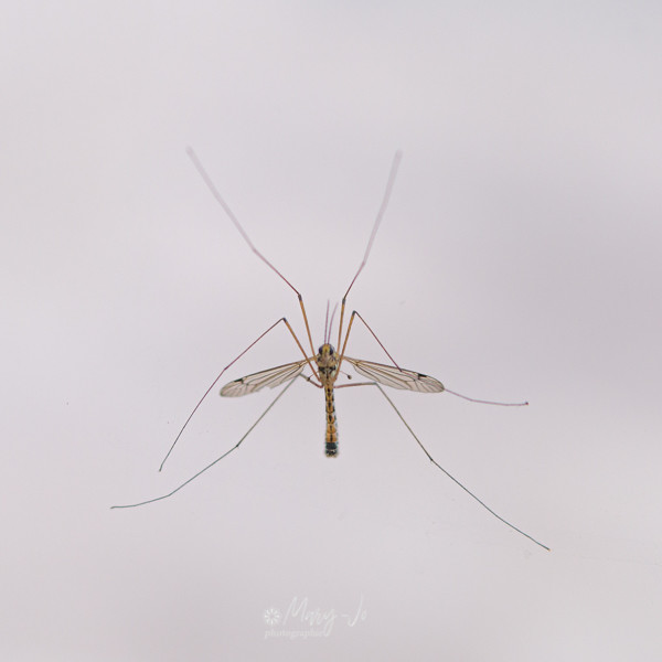 Le squelette du tipule ... à travers la vitre !!!    The skeleton of the crane fly ... through the glass !!!