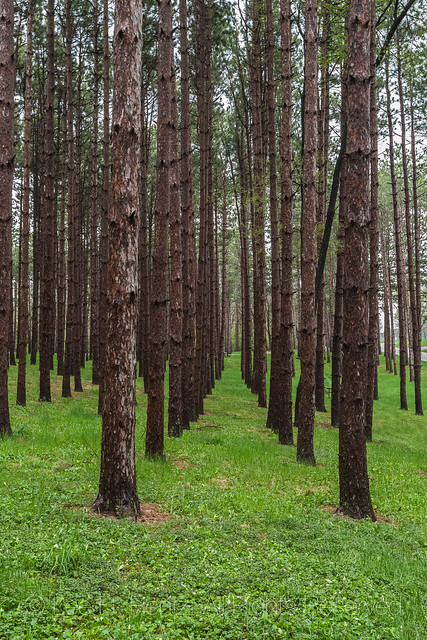Red Pine Plantation in Johnson-Sauk Trail State Recreation Area