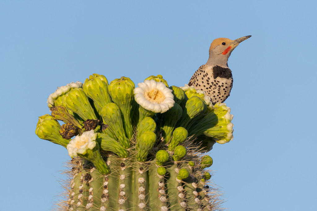 A male gilded flicker looks to the side as he pauses during a saguaro breakfast as he perches atop the flowers on the Chuckwagon Trail in McDowell Sonoran Preserve in Scottsdale, Arizona in May 2020